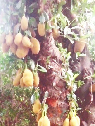 জাতীয় ফল কাঠাল।jackfruit