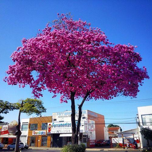 Maravilha! !! Tree Skyblue Sky Noclouds Perfection Samsungmobilecamera Samsungsnapshooter Iperosa Nature Belezasdobrasil Francacapitaldocalcado Francasp Francolandia Brasilflowers Brasilnature Beautiful