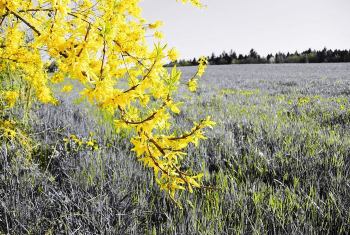 The Yellow Tree Springtime Forsythia Flowers Forsythia Blooms Forsythia Yellow Bloom Yellow Blossoms Yellow Tree Yellow Plant Growth Beauty In Nature Yellow Tranquility Flower Flowering Plant Nature No People Field Landscape Outdoors