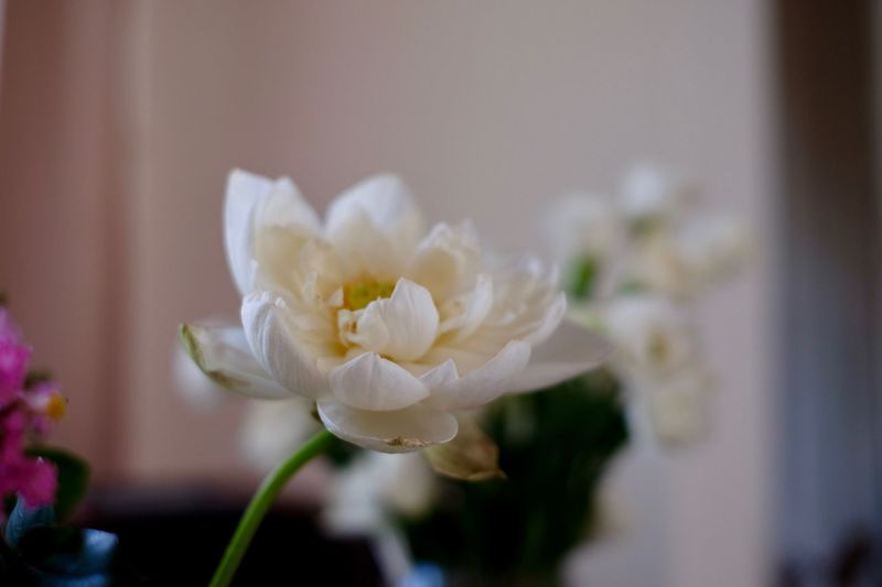 Flower Arrangement Floriculture Lotus Flowering Plant Flower Plant Beauty In Nature Freshness Vulnerability  Petal Fragility Selective Focus Nature White Color Focus On Foreground Flower Head Close-up No People Celebration Growth Inflorescence Indoors