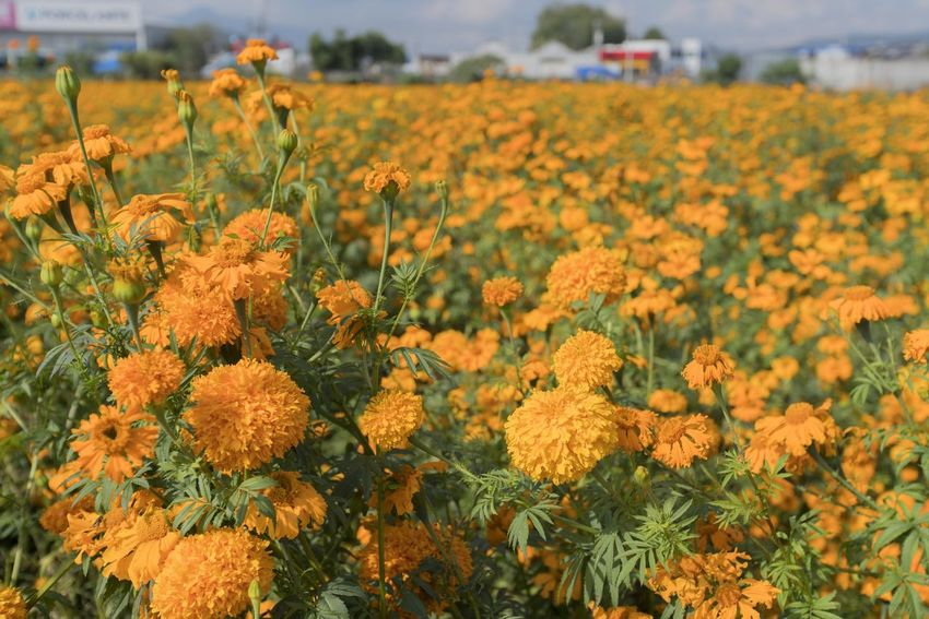 General view of a field covered with Marigold flowers (Tagetes Erecta). These flowers are essential for the celebration of the Night of the Dead, that is why they are cultivated in large grounds on the outskirts of cities. Marigold Flowering Plant Flower Growth Yellow Plant Freshness Beauty In Nature Field Vulnerability  Fragility Land Landscape Agriculture Rural Scene Nature No People Flower Head Day Petal Tranquility Outdoors Flowerbed Tagetes Erecta