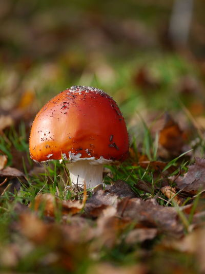 Mushroom Mushroom Close-up Selective Focus Toadstool No People Nature Day Red Beauty In Nature Poisonous Outdoors