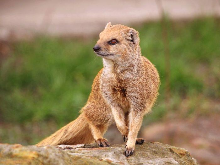 Mongoose On Rock