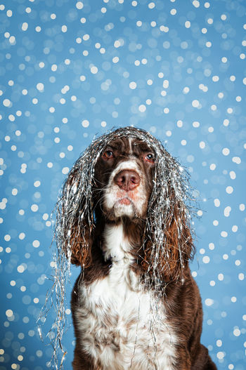 Animal Themes Christmas Close-up Colored Background Day Dog Gray No People Pets Polka Dot Portrait Snowing Spotted Studio Shot Tinsel
