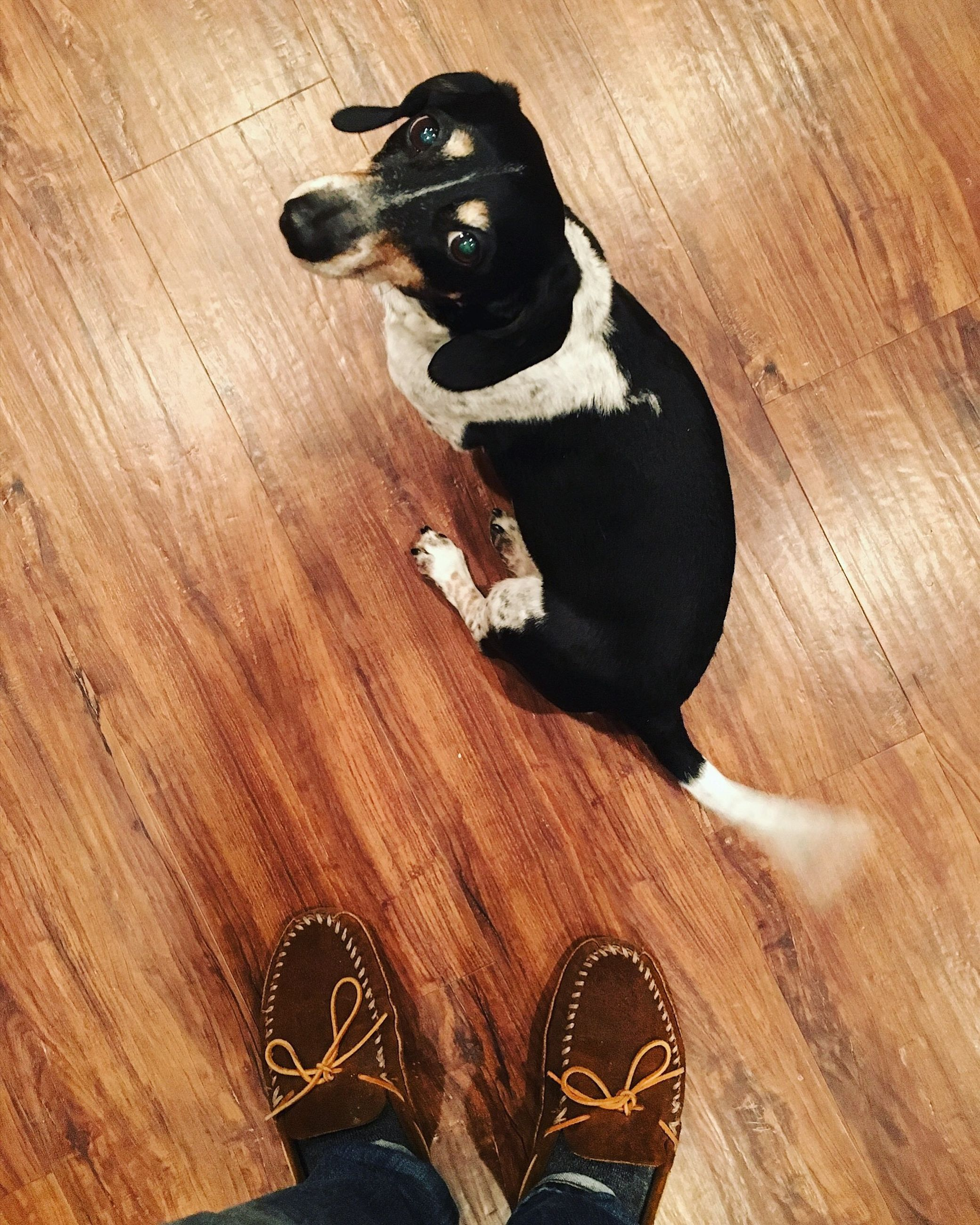 pets, domestic animals, dog, hardwood floor, one animal, animal themes, mammal, high angle view, indoors, sitting, shoe, black color, low section, human leg, wooden floor, standing, day, one person, close-up