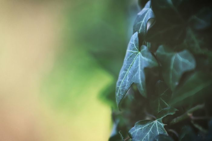 Romantic Leaf Green Beauty In Nature Beautiful Nature Beautiful Selective Focus Colorful Ivy Leaf Ivy Leaves Ivy No People Close-up Day Nature Outdoors Freshness