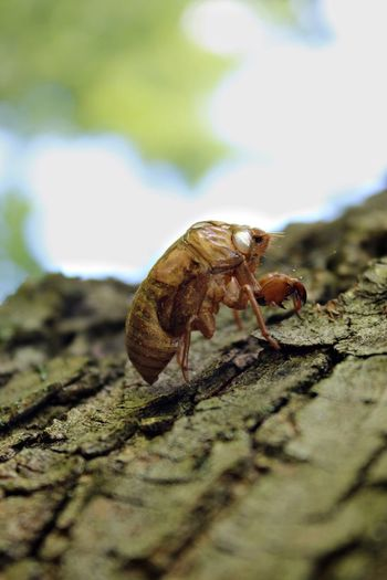 Animal Themes Selective Focus No People Nature Close-up Tree Cicada Cicada Exoskeleton Insect Photography Insect Shell Bug