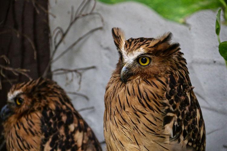 Tawny fish owl staring at camera