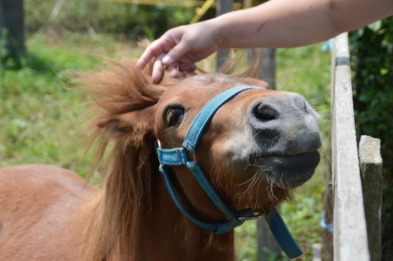 Animal Themes Bridle Brown Close-up Day Domestic Animals Field Horse Human Body Part Human Hand Mammal One Animal One Person Outdoors Pony Pet Portraits
