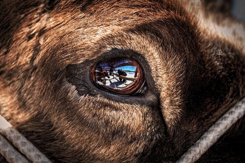 deer eye Eye