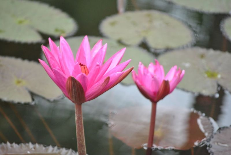 Plant Freshness Beauty In Nature Flower Nature Fragility Petal Pink Color Flower Head Lotus Water Lily Water Lily Water Blooming Floating On Water Outdoors No People Lotus Day Close-up Growth Pink Pinklotus