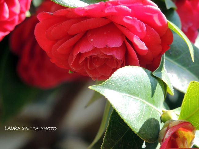 Camelia Japonica Camels Flower Macro Photography Macro_collection Macro_flower Mygardenlove Red Redflowers