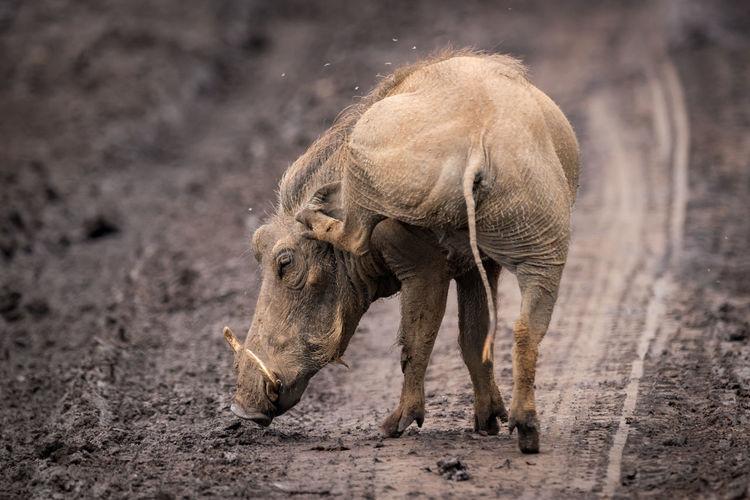 Wild boar on dirt road