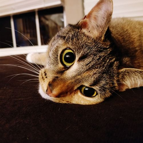 Portrait Looking At Camera Pets Close-up Animal Eye Whisker Feline Domestic Cat Yellow Eyes Eye Cat
