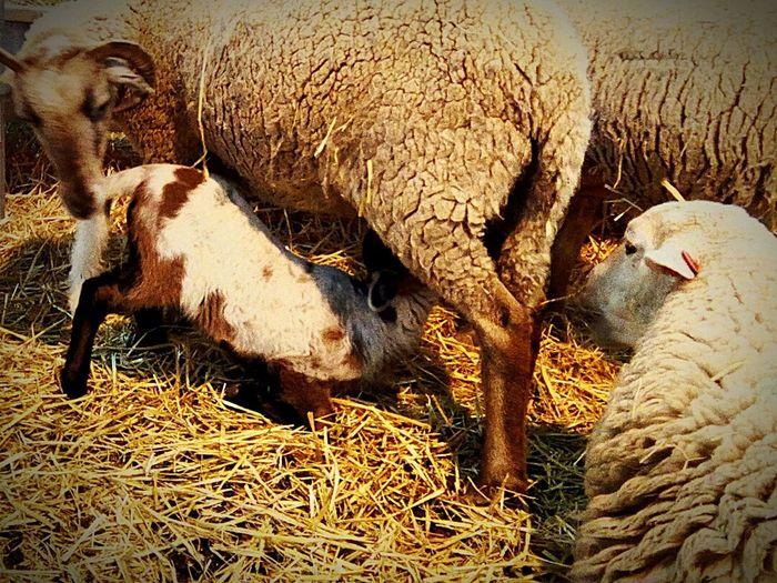 Es hora de alimentarse y mamá está siempre a tu lado. Domestic Animals