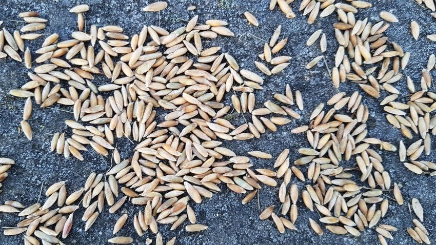 Abundance Large Group Of Objects Full Frame No People Heap Close-up Day Backgrounds Outdoors Trigo Trigal Trigo, Espiga, Campo, Salud. Trigos Cereal Cereales Cereals Cereais Cereal Crops