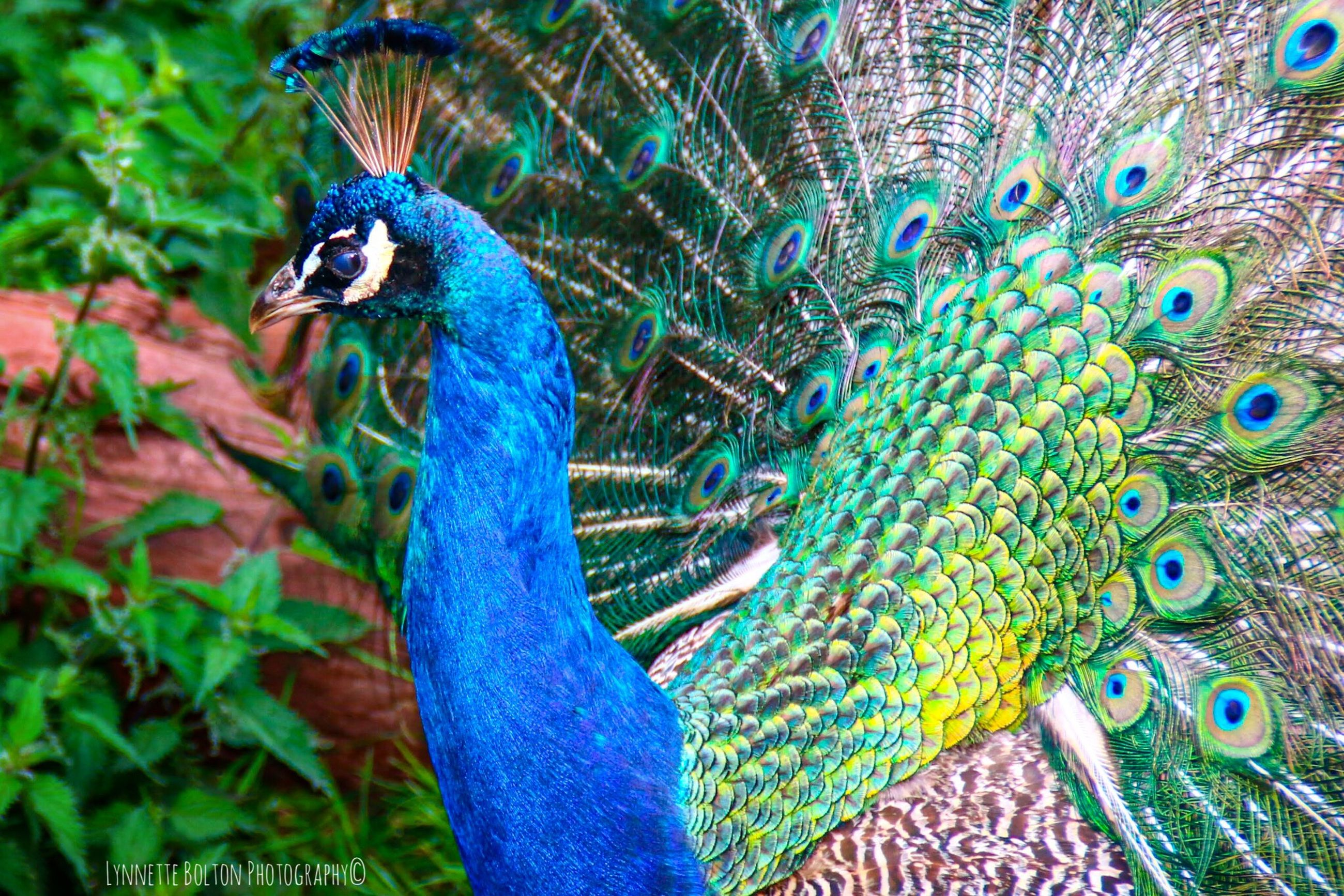 peacock, bird, animal themes, animal, one animal, animal wildlife, vertebrate, peacock feather, animals in the wild, blue, feather, male animal, multi colored, no people, fanned out, beauty in nature, close-up, nature, day, animal body part, outdoors, animal head