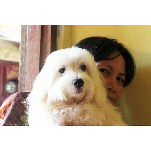 kangen sirro ❤ Maltese Malthese Dog Pet instapet instadog love