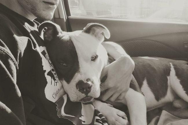 Shades Of Grey Pet Photography  Blackandwhite Photography So Upset Sadeyes Sick Puppy Mansbestfriend Pitbulllove Animal Photography