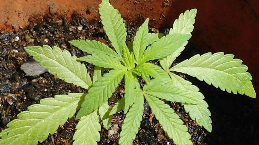 Some plants i found outside growing by my house.. Marijuana Weed Weed Life Medicalmarijuana  MMJ Mmjpatient MMJ PHOTOGRAPHY Mmjj😄😉😉 Plants Enjoying Life