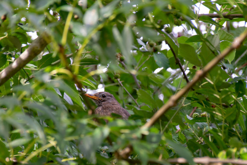 Young female blackbird hidden amongst tree branches and leaves Animal Animal Themes Animal Wildlife Animals In The Wild Bird Blackbird Blackbirds Branch Day Female Blackbird Green Color Growth Leaf Mammal Nature No People One Animal Outdoors Perching Plant Plant Part Selective Focus Tree Vertebrate