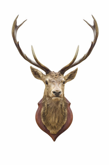 Stuffed deer head isolated on white with clipping path. Deer HEAD Isolated Stag Taxidermy Animal Stuffed Trophy White Antlers Male Wall Horn Mounted Hunting Herbivore Buck Majestic Mammal Dear Decoration Wild Wood Nature BIG Antler Background Elk Moose Bone  Cut Skull Brown Strong Horned Anatomy Beautiful Wildlife