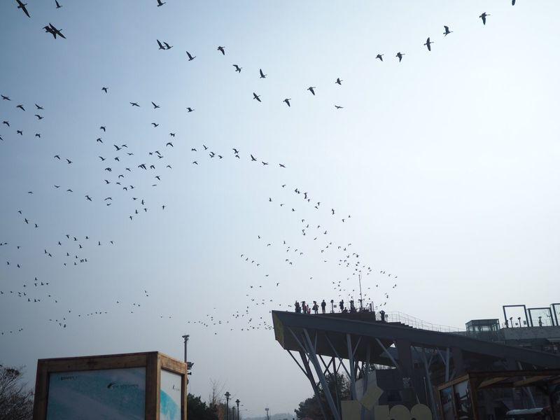 Flock Of Birds Nature Large Group Of Animals Omdem5ii Mzuiko17mm Paju Imjingak
