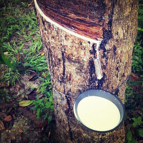 Malaysia Rubber Tree Rubber Milk