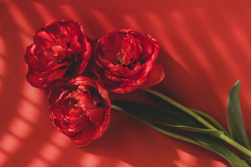Close-up of three red full tulips