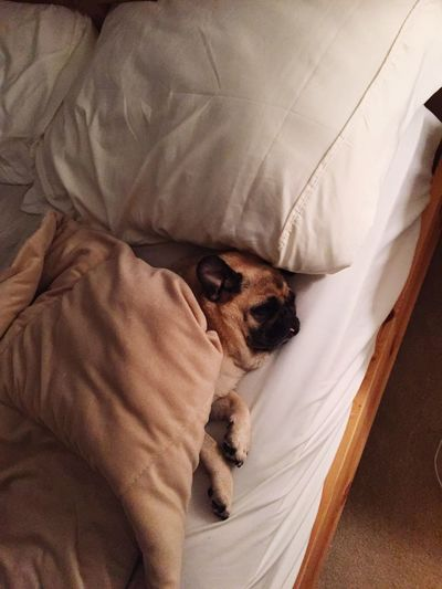 Bed pugs lazy sleep sleeping dogs dog sleeping