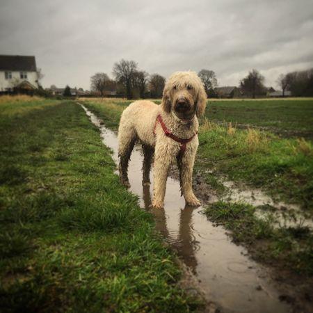 StotfoldLife I ❤my Dog Labradoodle Enjoying Life
