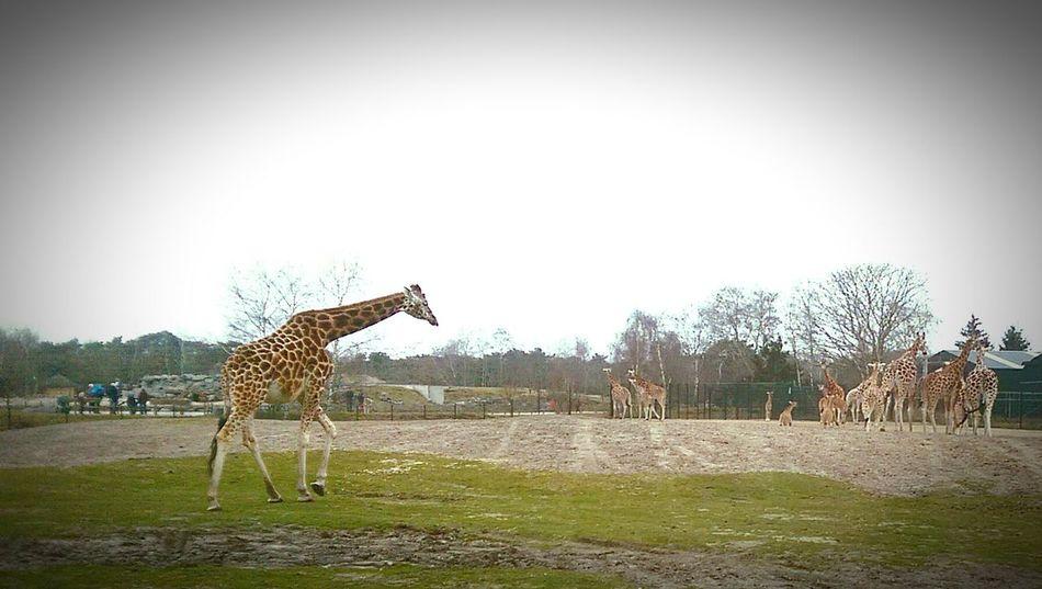 Zoo Zoo Animals  Giraffes Wildlife Beekse Bergen