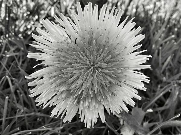 Nature No People Outdoors Plant Beauty In Nature Fragility Flower Day Flower Head Flowers Nature Springtime Garden Beautiful Nature Streamzoo Petal Flowers, Nature And Beauty Flower Collection Streamzoofamily Spring Photography Flower Photography Black & White Blackandwhite Huskyphotography Monochrome