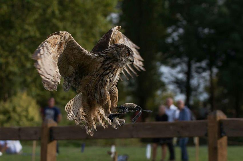 Bird Of Prey European Eagle Owl Wildlife & Nature Predatory Hibou Grand Duc Rapace  Oiseaux Gironde Animal