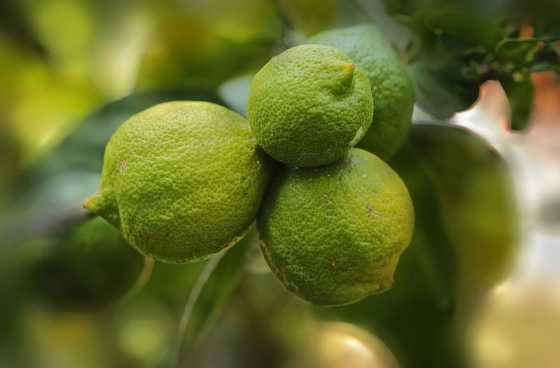 Limoni del mio giardino Citrus Limon Lemon Giardino Frutti Frutto Garden Photography Garden Limone Limoni Green Color Growth Healthy Eating Fruit Close-up Freshness Plant No People Focus On Foreground Plant Part Nature Tree Citrus Fruit Outdoors Food And Drink Food Beauty In Nature
