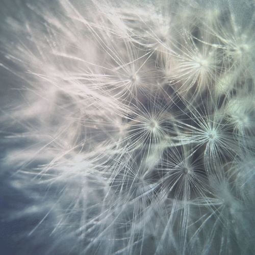 Close-up of dandelion flower