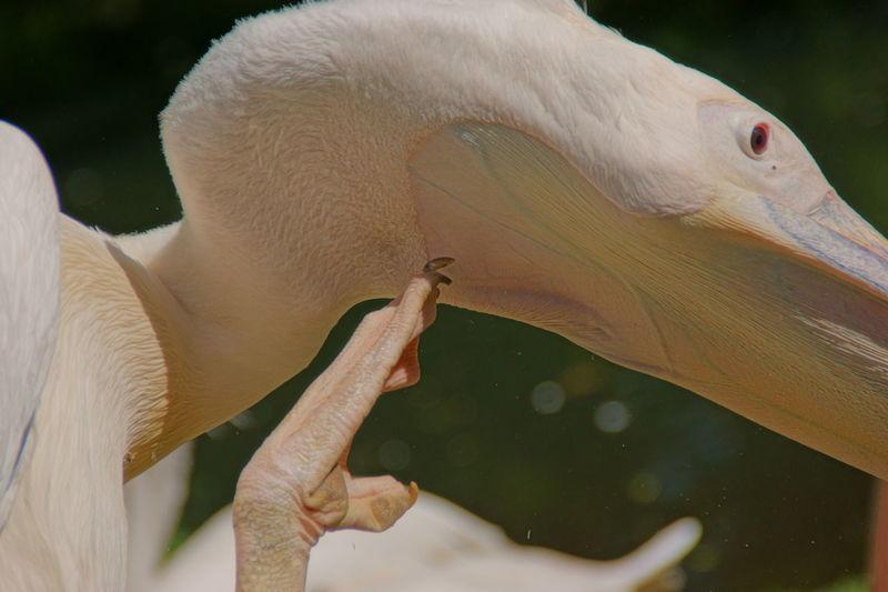 Close-up of a pelican