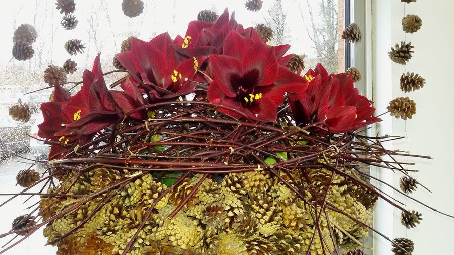 Rittersterne 🍃🌺🍃 Blütenpracht AmarillisArt Is Everywhere ArtWork Creativity Leisure Activity Decoration With Flower Close-up Flower Beauty In Nature It's Wintertime Focus On Foreground No People Indoors  EyeEm Nature Lover Handmade Taking Photos Tadaa Community Decorative Art Christmas Decoration EyeEm Flower Beliebte Fotos Nature Natural Beauty