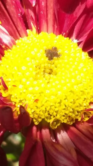 Flower Yellow Petal Fragility Freshness Flower Head Close-up Beauty In Nature Nature No People Plant Red Multi Colored Day Indoors  Mygarden:) Mygardenflower MyPhotography Myphonephotography Paint The Town Yellow