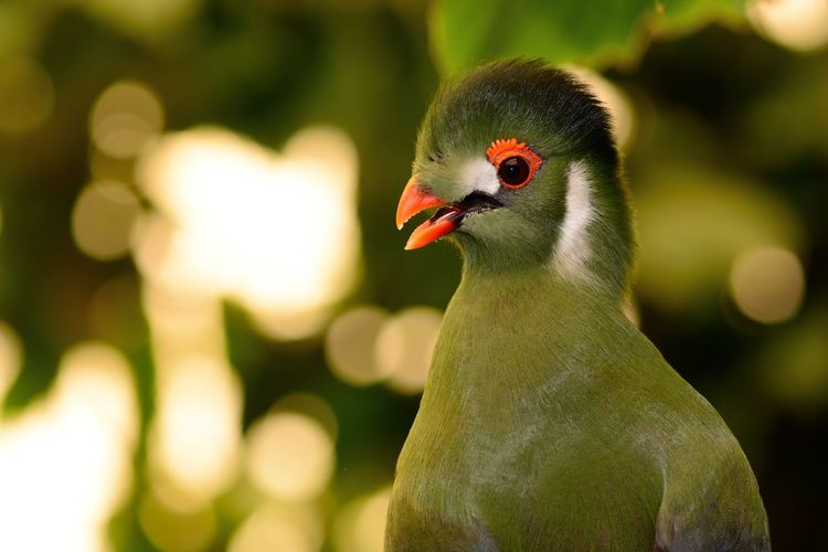Animal Themes Animal Wildlife Animals In The Wild Beauty In Nature Bird Birds Bokeh Check This Out Close-up Day Eye4photography  EyeEm Best Shots EyeEm Nature Lover Focus On Foreground Green Color Nature Nature Photography Nature_collection No People Outdoors Portrait Selective Focus Taking Photos Turaco Wildlife