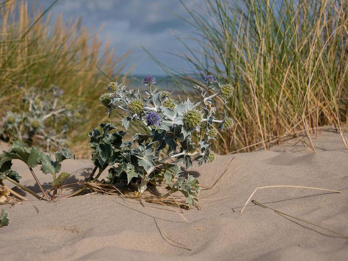 Flowering plants on sand at beach against sky