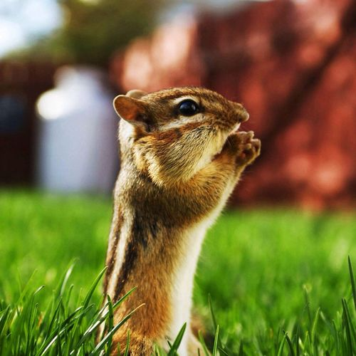 Todays Irina.A forum, chipmunks. BE AWARE: I have worked on this for almost three months! Animals Nature
