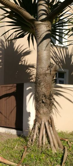Palm Tree Tree Trunk Sunlight And Shadow Pointed Leaves Beauty In Nature
