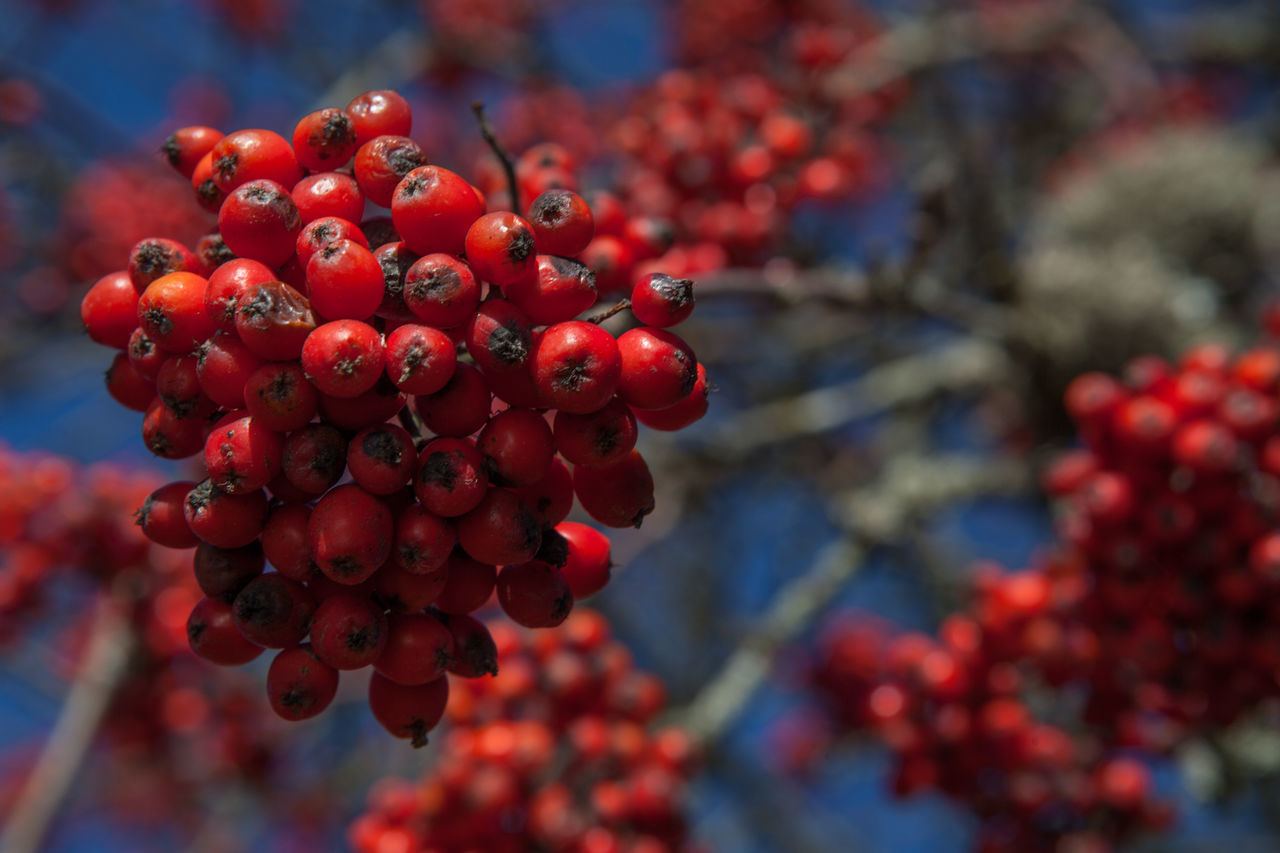 Low Angle View Of Rowanberry Tree Against Clear Sky