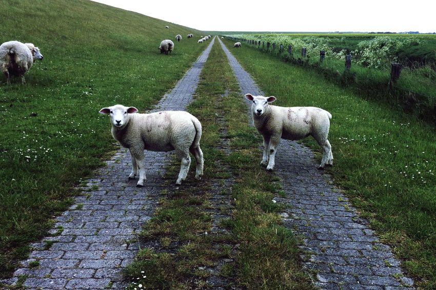 Open Edit Nature Nordfriesland Reedit Sheep