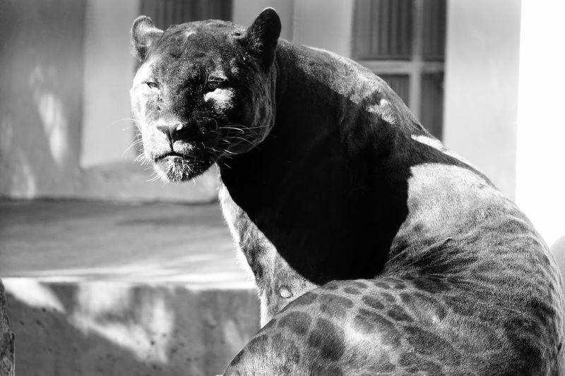 Dangerous Animals Panthera  Felidae Sunshine And Shadows Blackandwhite Monochrome Leopard Panther Focus On Foreground Animal Themes Animal One Animal Mammal Vertebrate Day Portrait Nature Looking Sunlight No People