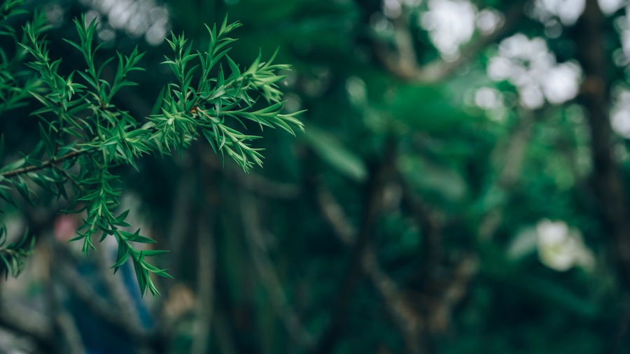 Leaves on a rainy day Fir Tree Needle - Plant Part Land Outdoors Pine Tree Branch Selective Focus Tranquility Focus On Foreground Day Beauty In Nature Tree Freshness Plant Part Close-up Growth Green Color Plant Leaf Nature No People Coniferous Tree