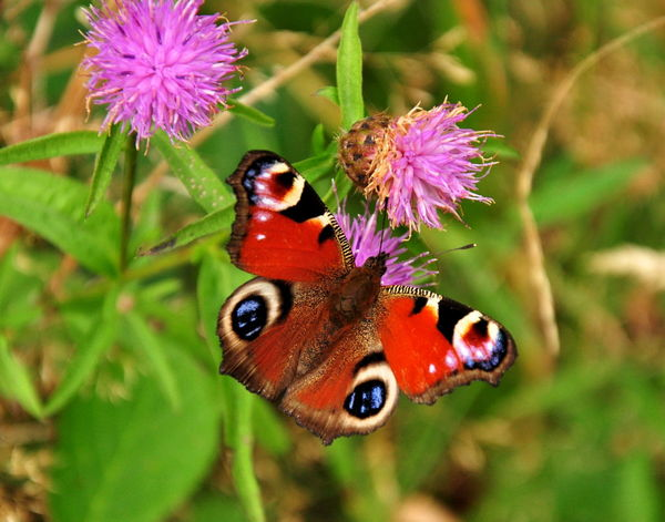 Aglais Io European Peacock Butterfly Animal Themes Animals In The Wild Beauty In Nature Butterfly - Insect Close-up Day Flower Flower Head Focus On Foreground Fragility Freshness Growth Insect Nature No People One Animal Outdoors Peacock Butterfly Plant Pollination Purple