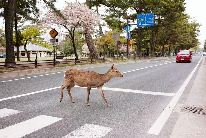 Kyoto Kyoto,japan Deer Animal Photography