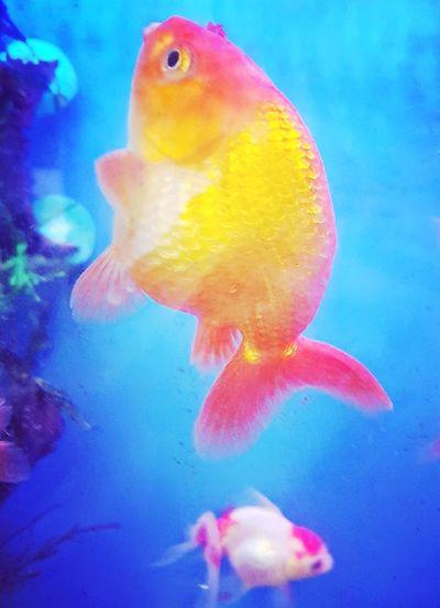 Goldfish UnderSea Sea Life Swimming Water Underwater Clown Fish Pets Multi Colored Sea Close-up Fish Tank Aquarium Goldfish Sea Anemone Floating In Water Animals In Captivity Tank Fishbowl Fishes Fish